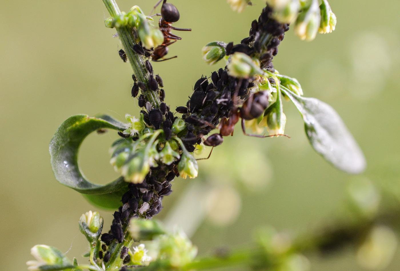 Зеленая тля на яблоне: чем обработать деревья, чтобы избавиться от нее наверняка