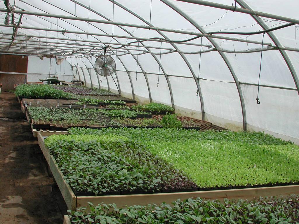 Выращивание зелени в теплице зимой. лук, укроп, петрушка. фото — ботаничка.ru