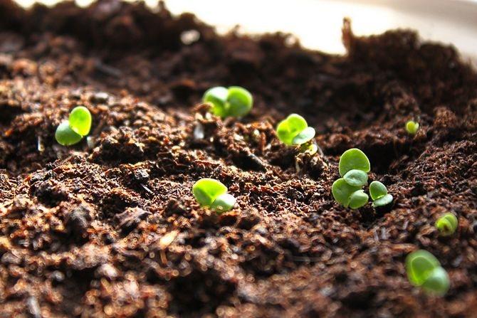 Как вырастить базилик в открытом грунте: простым способом