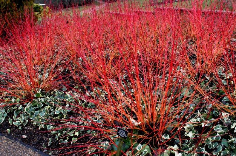 Дёрен в дизайне сада: популярные виды и сорта, уход, борьба с болезнями