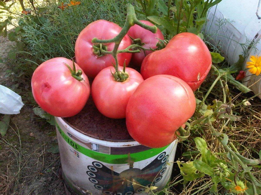 Серия томатов «малиновое чудо»: чем они так хороши, почему их стоит выращивать и как это сделать правильно