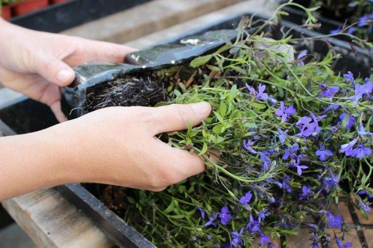 Как и когда посеять семена лобелии на рассаду