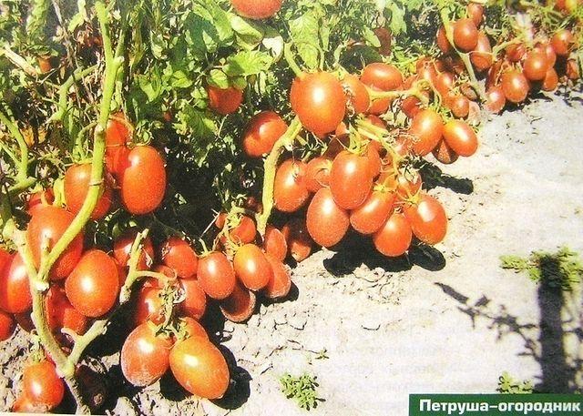 Томат огородный колдун: особенности сорта, описание, урожайность, фото