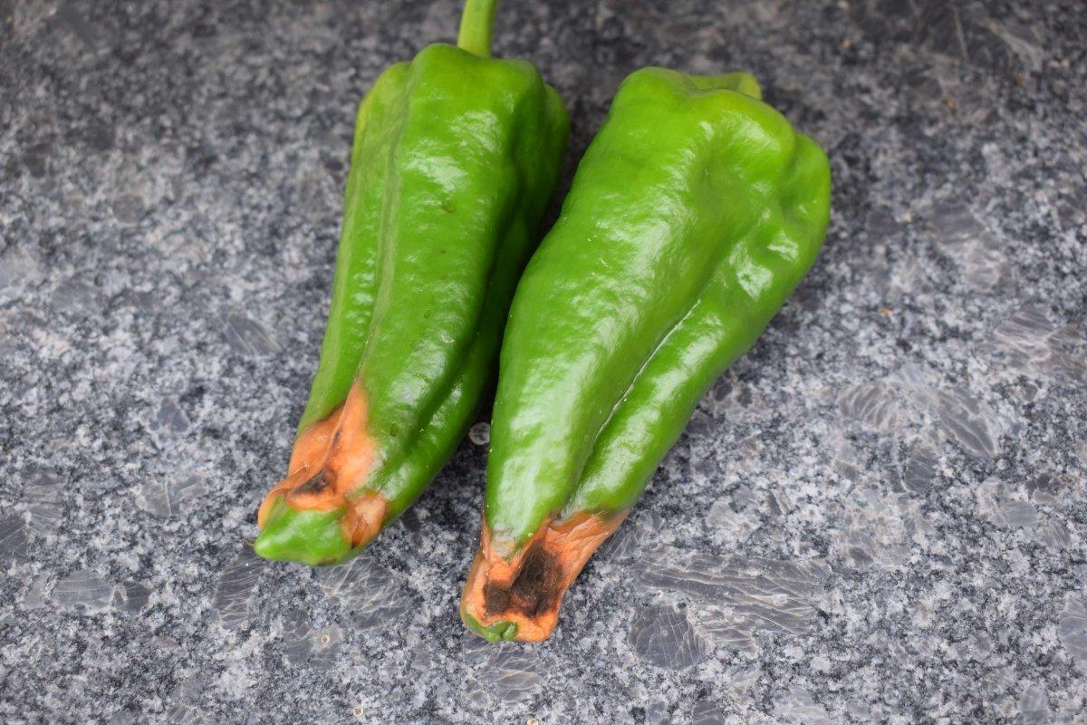Почему перец гниёт на кусте в теплице и в открытом грунте: основные причины, что делать и как решить проблему, фото
