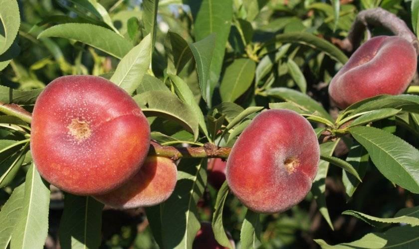 Инжирный персик: описание сортов, полезные свойства, выращивание, посадка и уход
