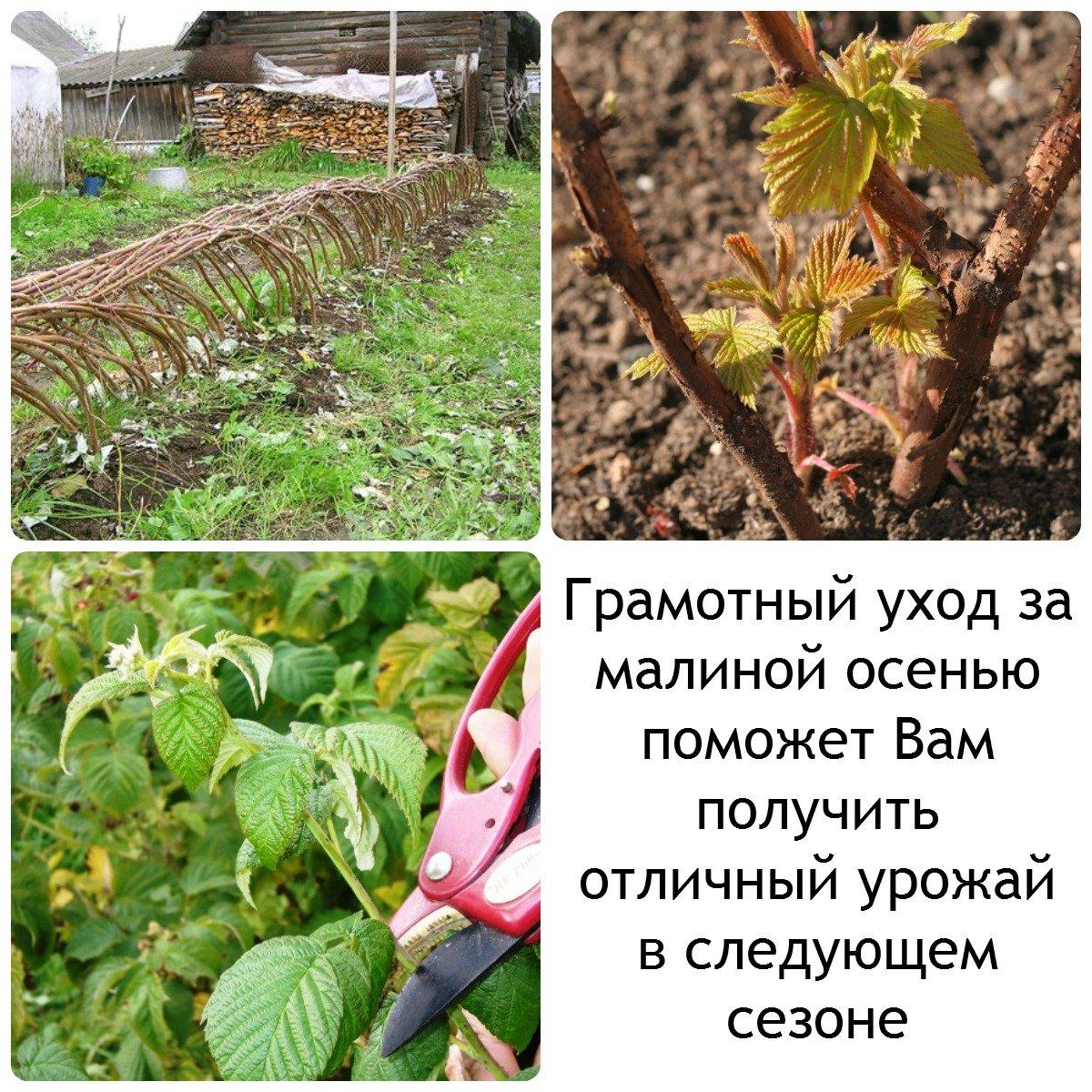 Посадка малины ремонтантной, когда и как нужно делать, а также лучшие сроки для проведения в беларуси, подмосковье и других регионах