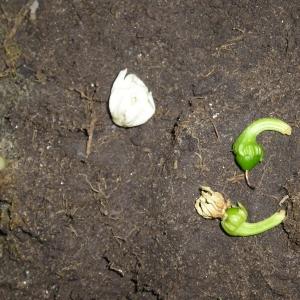 Почему опадают завязи у перцев и что делать, чтобы спасти грядки