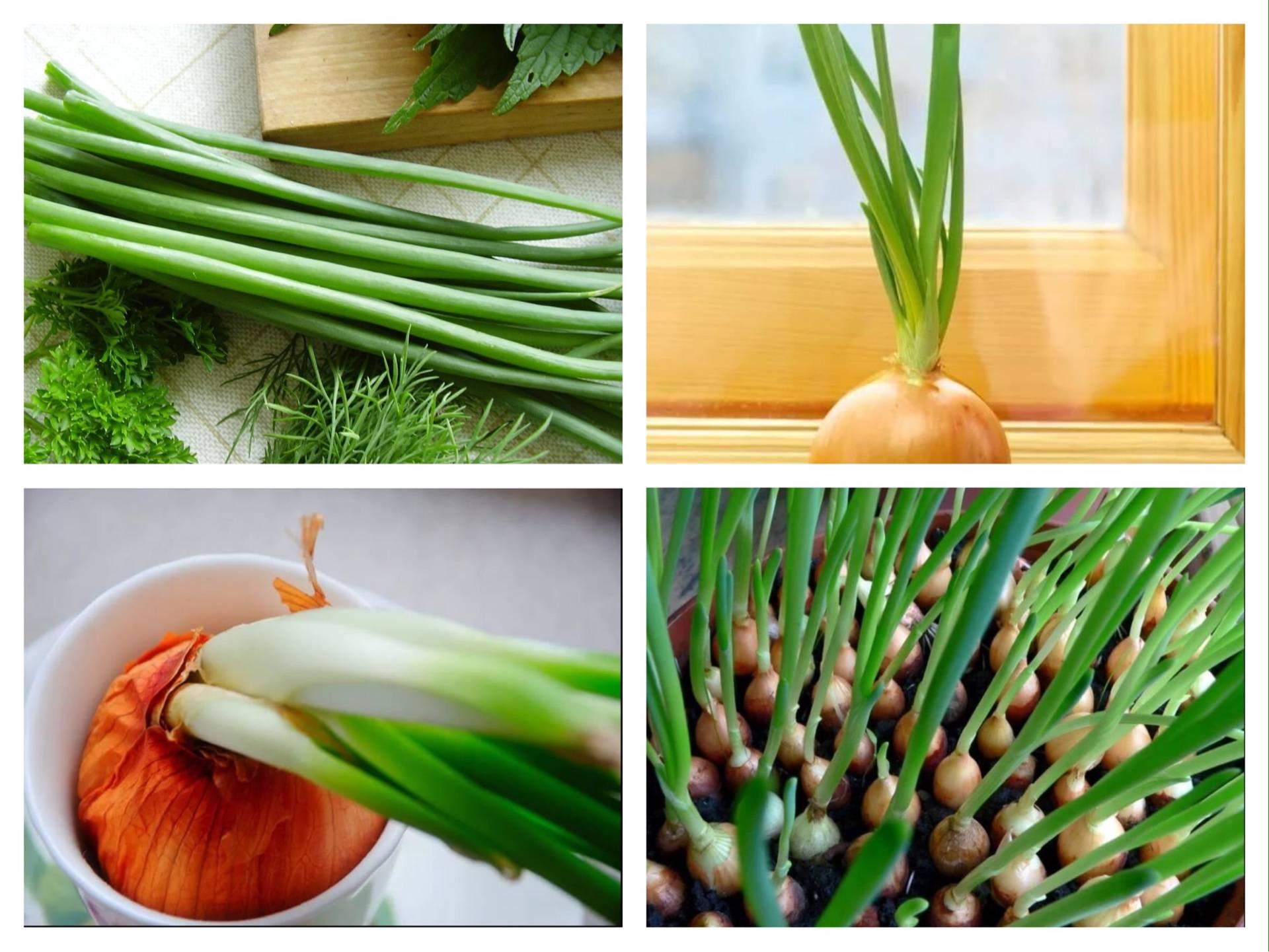 Лучшие сорта лука для выращивания на зелень с фото и описанием
