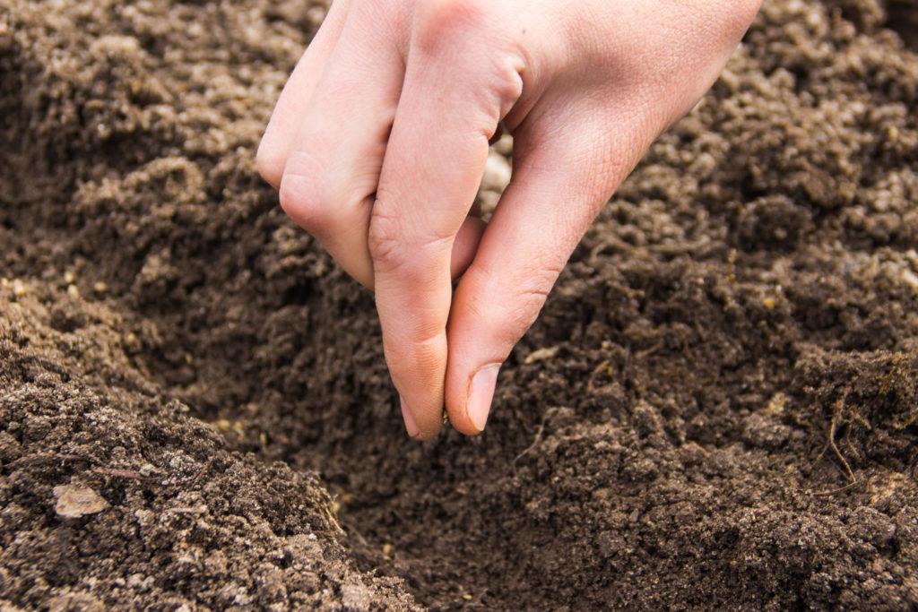 Шпинат — полезная зелень. посадка, выращивание, уход. свойства. фото — ботаничка.ru