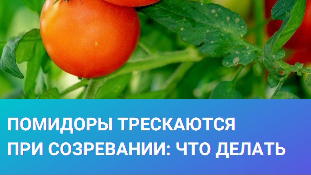 Почему трескаются помидоры в теплице при созревании
