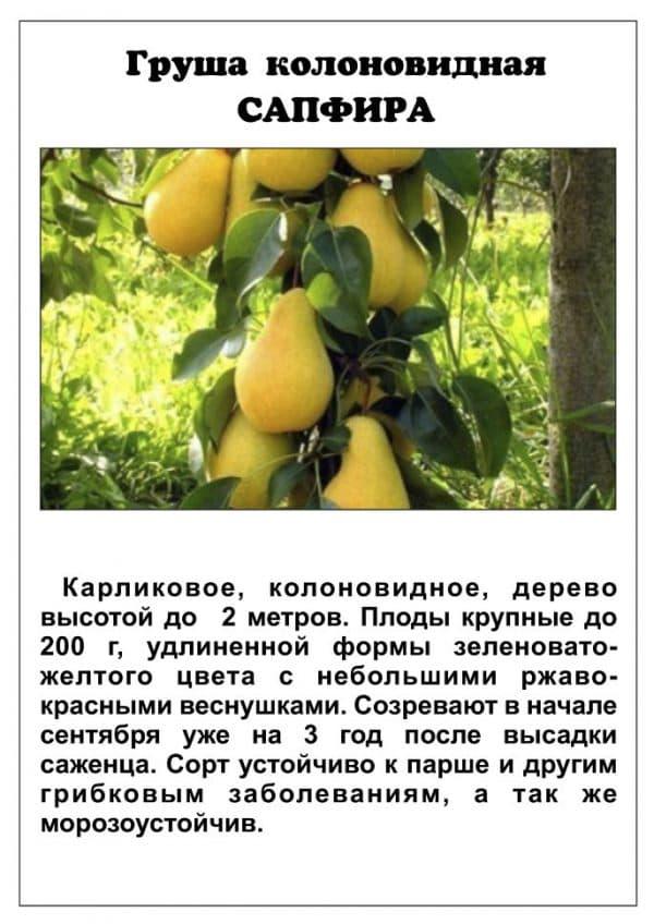 Груша медовая колоновидная описание сорта - агро журнал dachnye-fei.ru