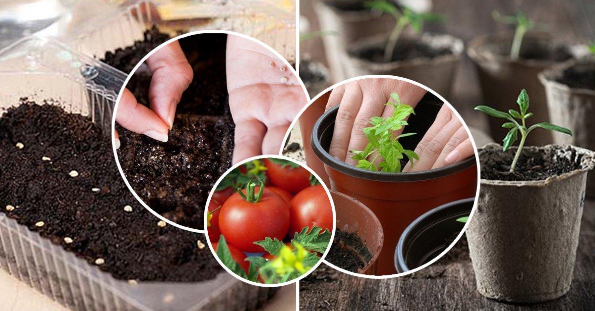 Выращивание рассады на гидропонике