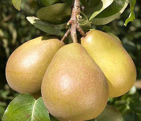 Колоновидная груша: характеристики сорта и советы по выращиванию (100 фото)