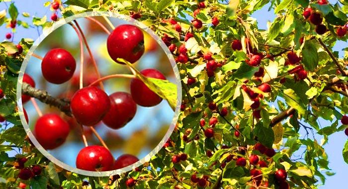 Яблоня ягодная описание - дневник садовода gossort68.su