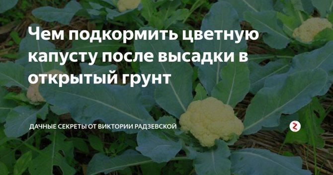 Чем подкормить цветную капусту для роста в открытом грунте