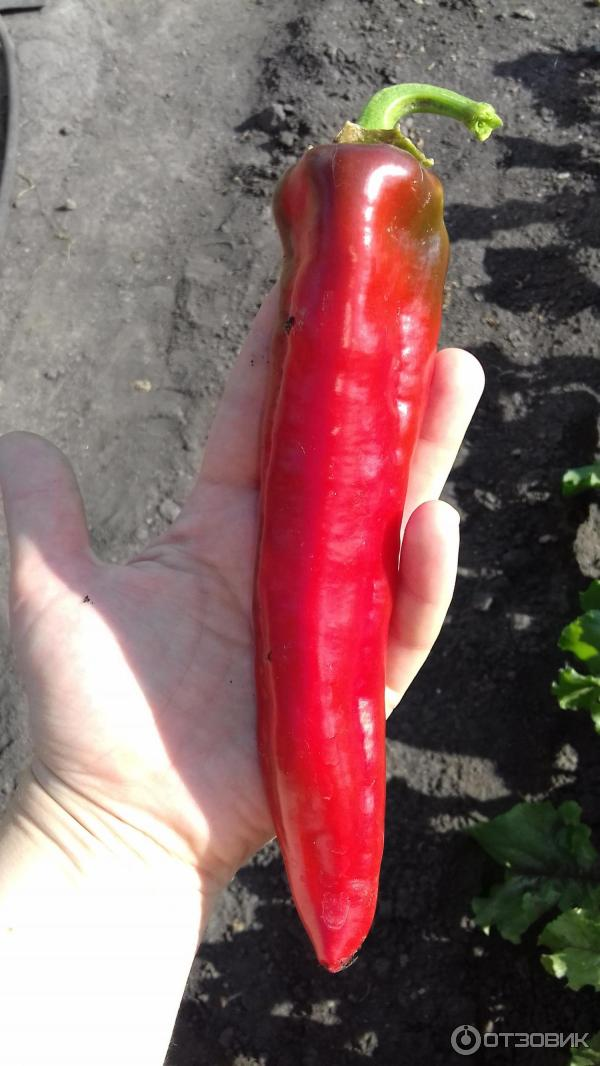 Эффектный гибридный перец «какаду» с необычным внешним видом и приятным сладким вкусом