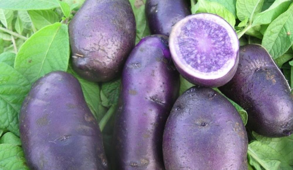 Черный картофель: описание сортов, полезные свойства, посадка с фото и видео