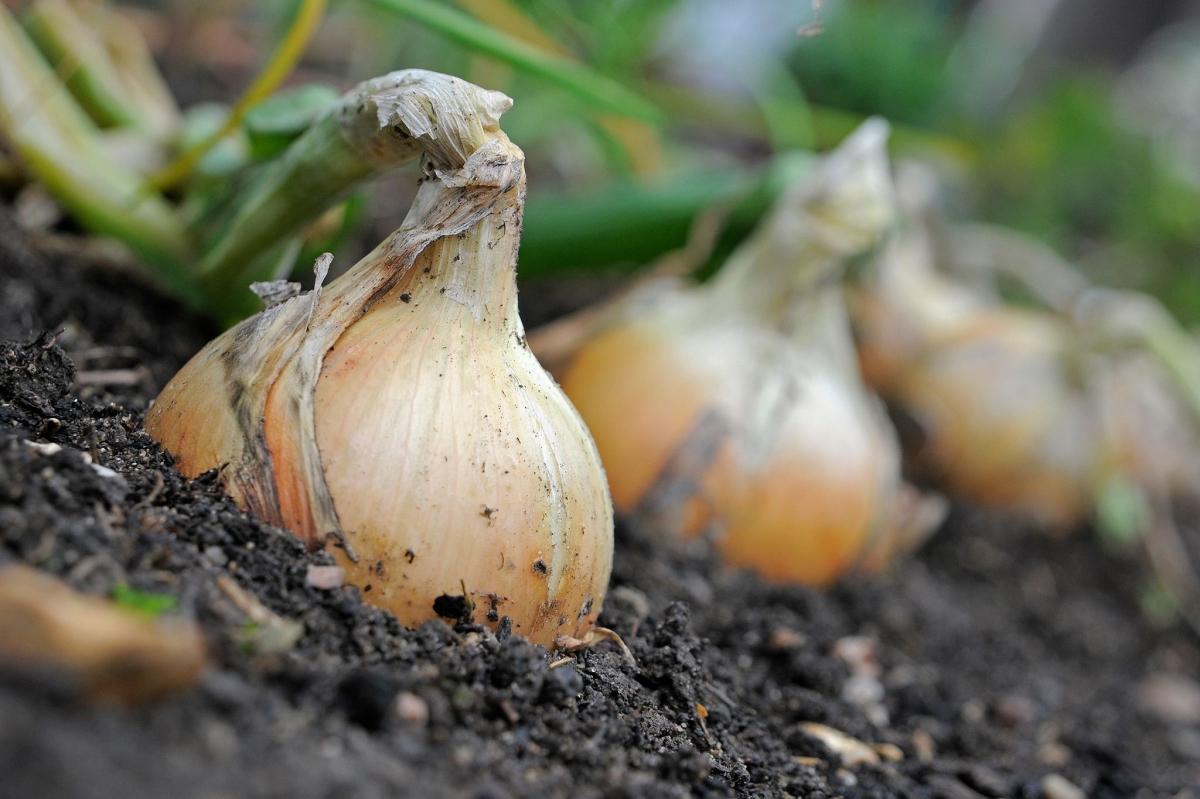 Руководство по выращиванию и уходу за семейным луком для начинающих огородников