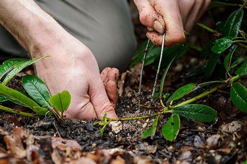 Как размножить барбарис черенками и отводками в домашних условиях