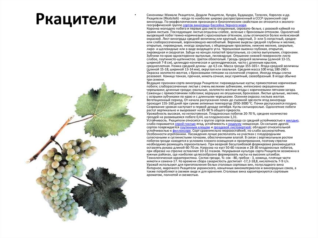 Описание и выращивание винограда сорта ркацители