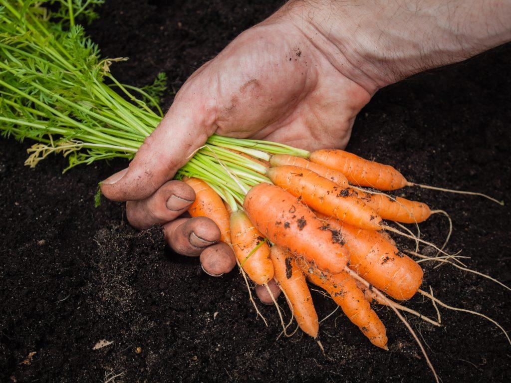 Уборка урожая в огороде на даче и правила хранения овощей: советы, фото и видео