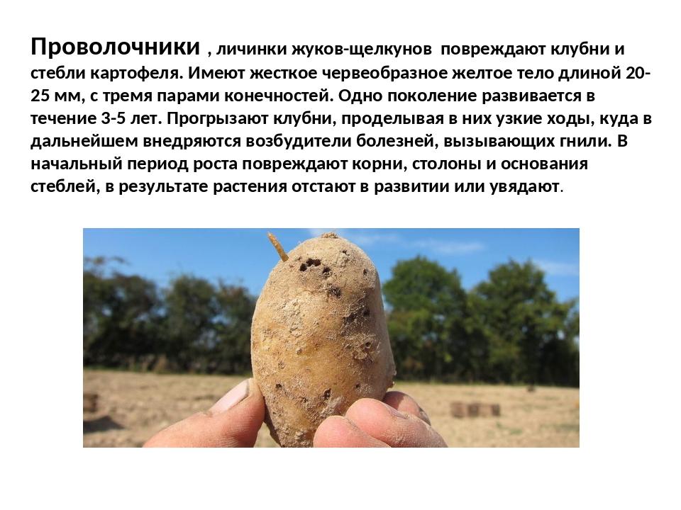 Причины появления и лечение парши картофеля