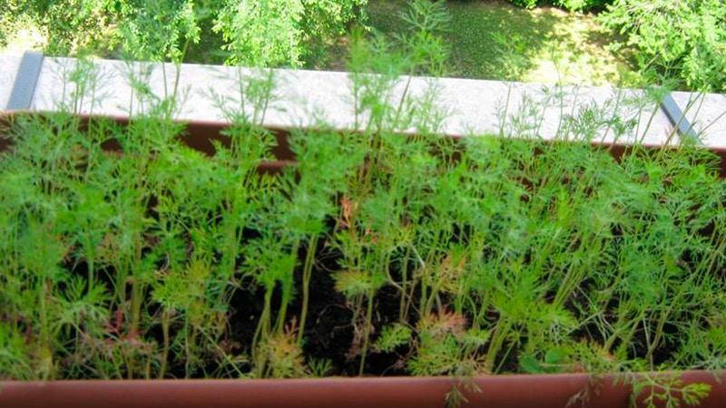 Как и когда сажать семена укропа в открытый грунт весной: сроки, правила, схемы