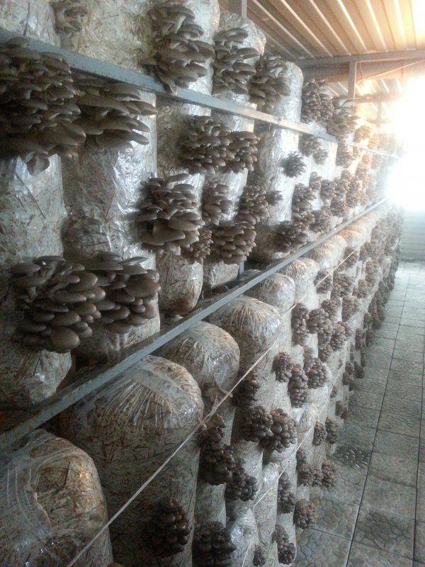 Теплицы для грибов вешенок: от теории к практике