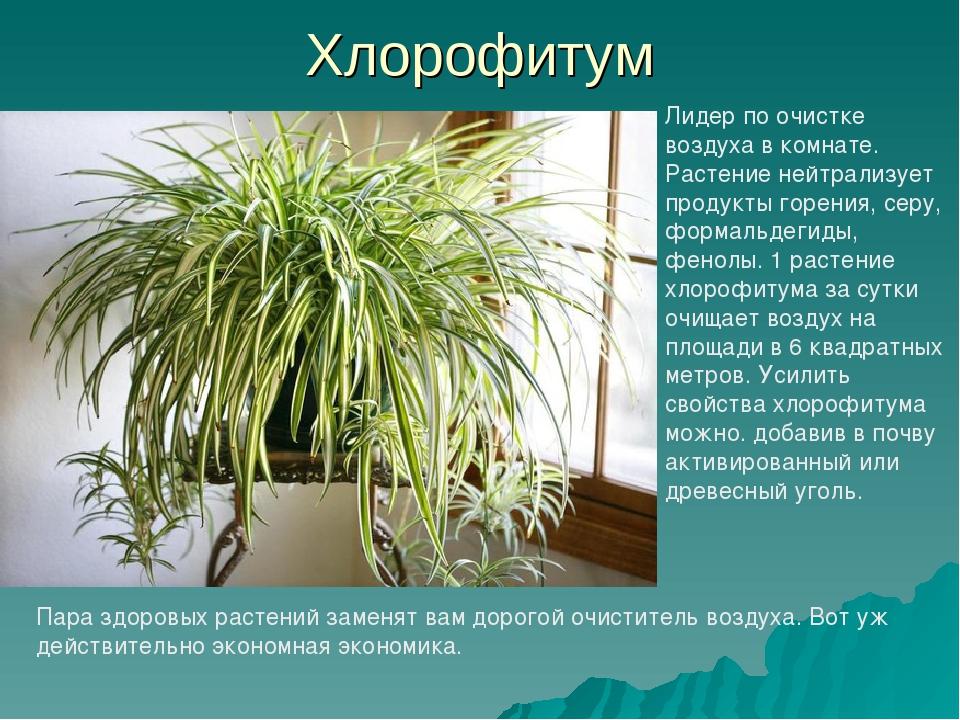 Хлорофитум: выращивание и уход в домашних условиях