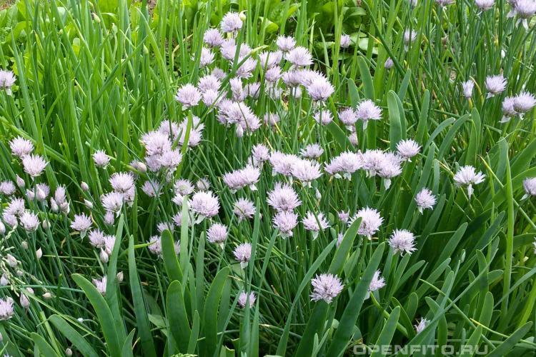 """Лук-шалот """"деликатес"""" (семейный): описание сорта, выращивание из семян, дикие разновидности растения, а также как посадить и ухаживать?"""