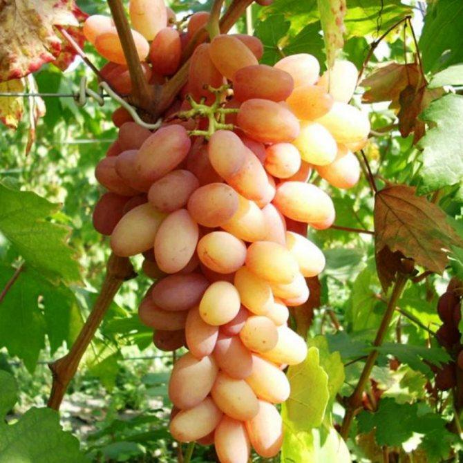 """Виноград """"румба"""": описание сорта, фото, отзывы"""