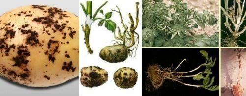 Картофельный рак: фото, симптомы, биология, устойчивые сорта, методы защиты