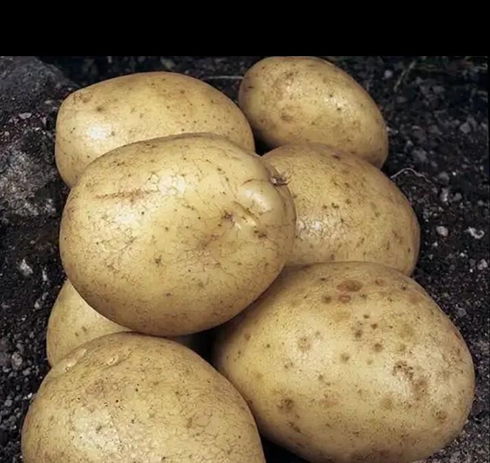 Картофель зорачка — описание сорта, фото, отзывы, посадка и уход