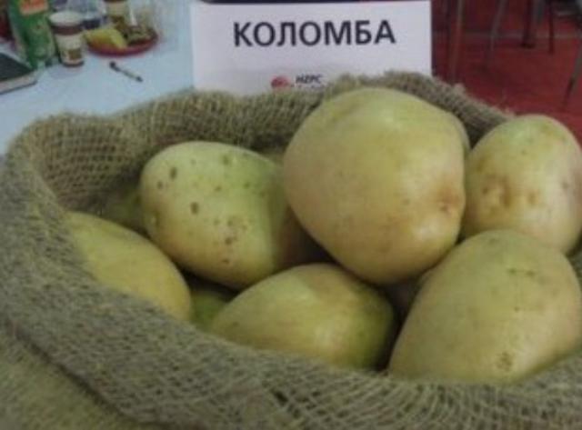 Выращиваем картофель сорта коломбо