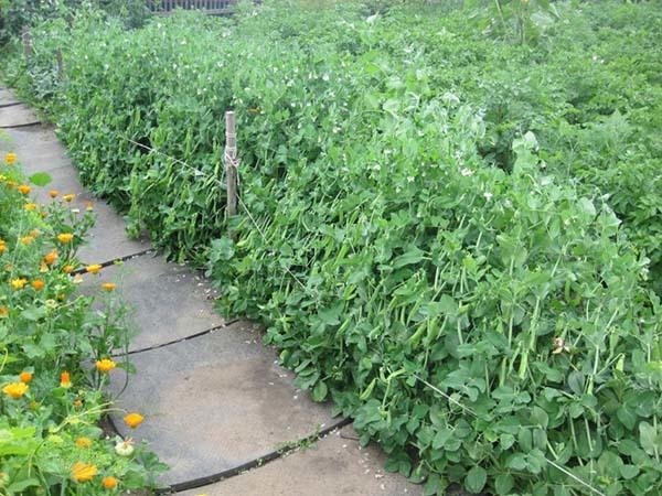 Фенхель: выращивание и уход в открытом грунте, полезные свойства
