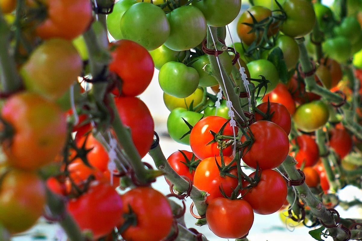 Аляска: подробное описание универсального томата