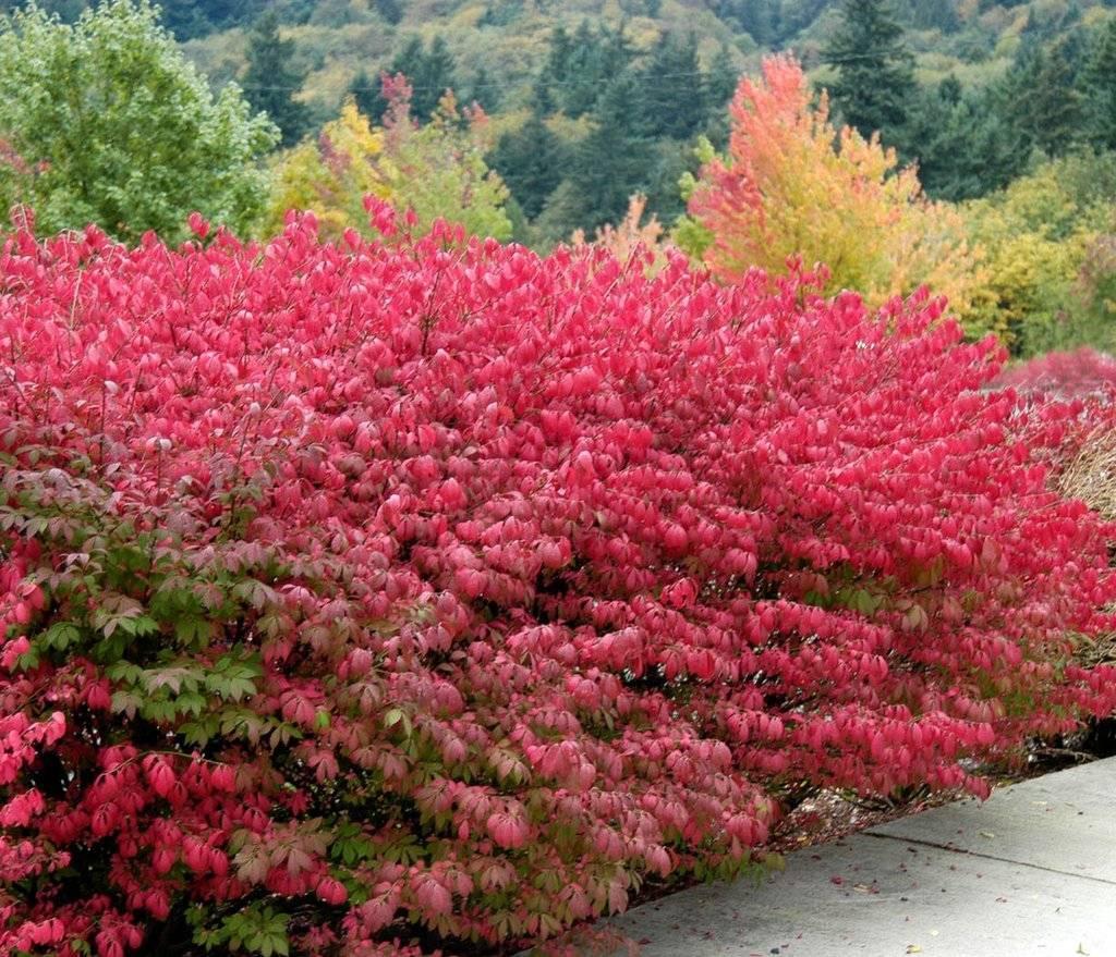 Декоративные и цветущие кустарники для регионов