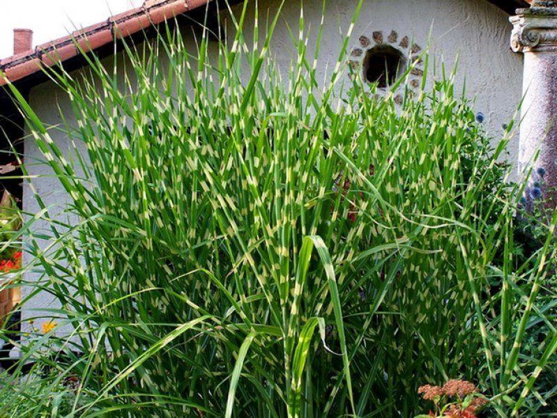 Мискантус посадка и уход в открытом грунте, выращивание и размножение, сорта, фото, сочетание в ландшафтном дизайне