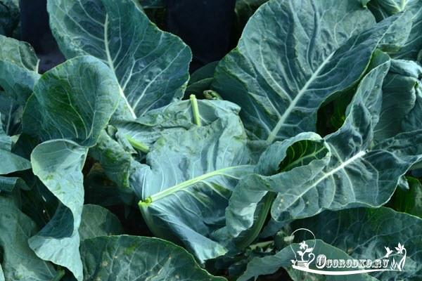Почему у капусты скручиваются листья: причины, что делать