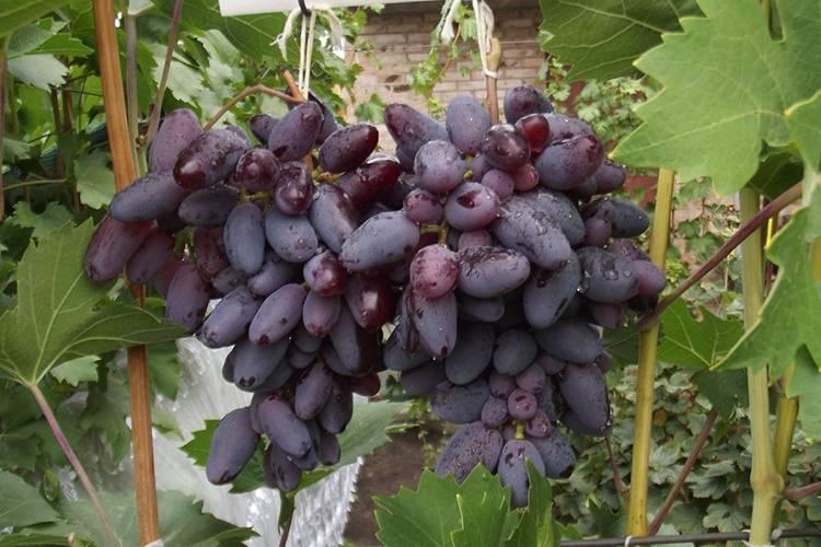 Виноград байконур: описание сорта, выращивание и уход