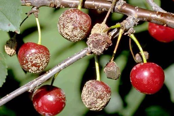 Как лечить монилиоз вишни народными средствами и современными препаратами