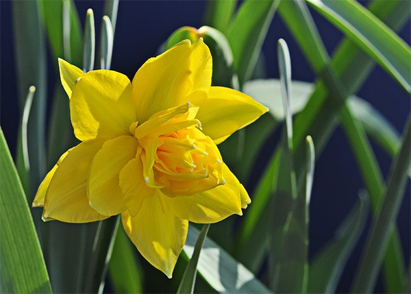 Нарцисс датч мастер: описание сорта и характеристика, посадка и уход