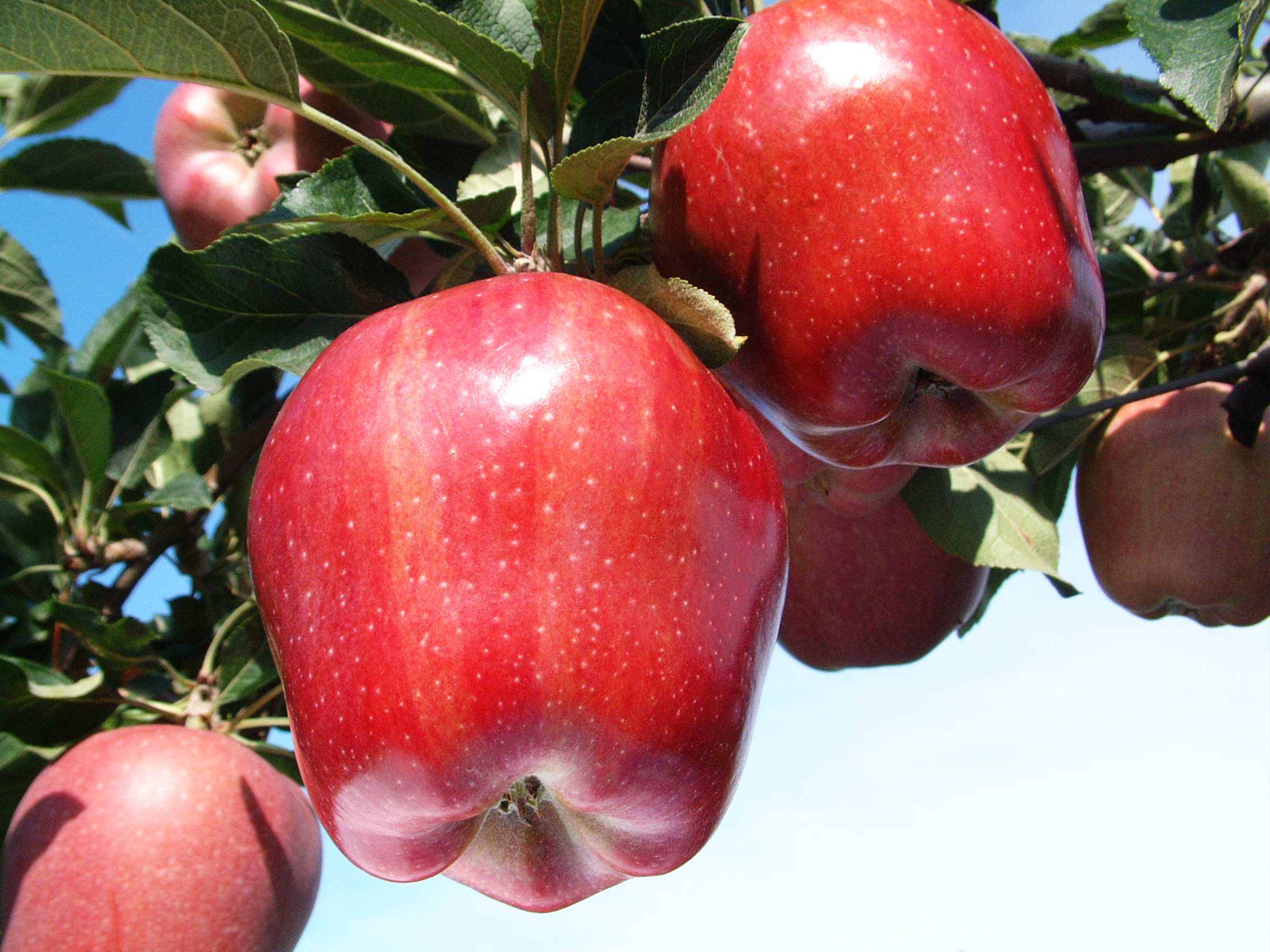 Яблоня ред фри: фото и описание сорта, а также его достоинства и недостатки