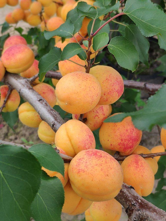 Сорт абрикоса чемпион севера: описание, уход, отзывы, фото