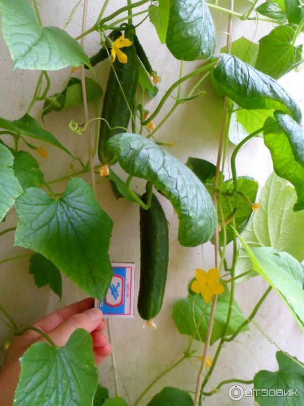 Сорта огурцов для выращивания на балконе