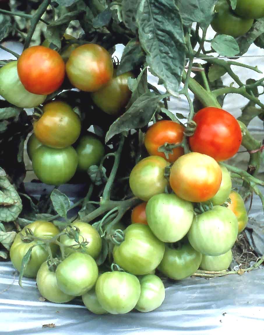 Томат p20+beauty king: характеристика и описание сорта, отзывы, урожайность, фото