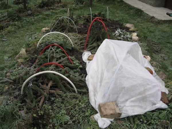 Хоста - уход осенью и подготовка к зиме: обрезка и укрытие