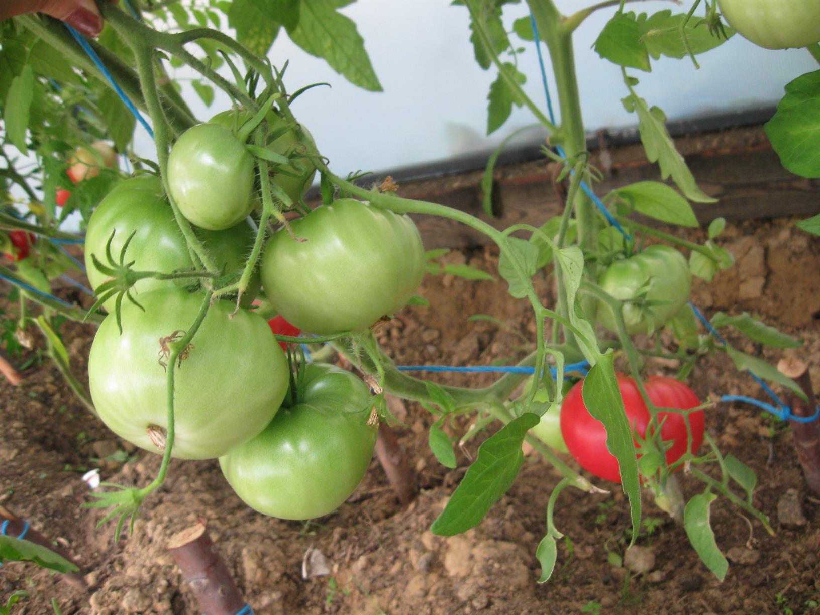 Описание и характеристика сорта томата корнеевский - всё про сады