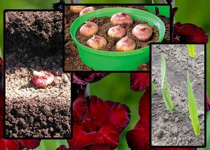 Секреты успешного выращивания каладиума