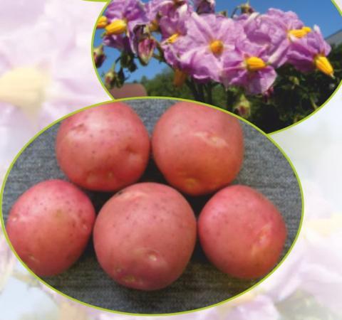 Картофель ирбитский - описание сорта, фото, рекомендации по выращиванию русский фермер